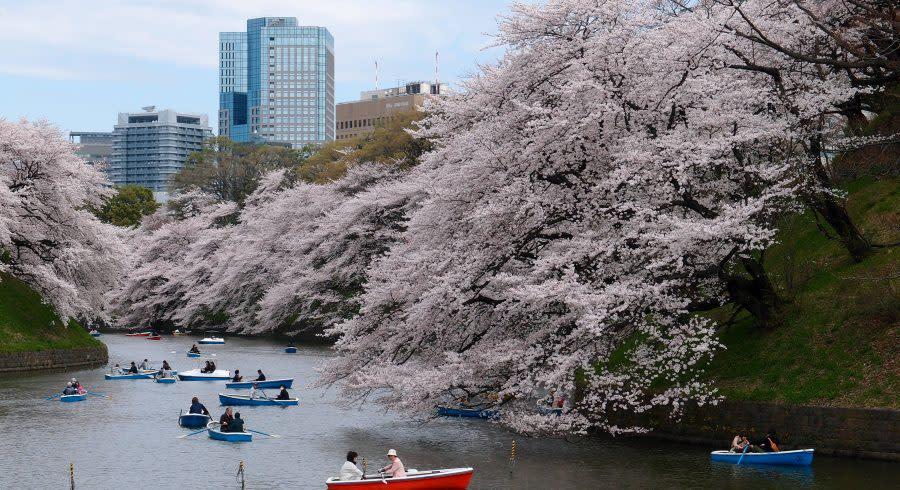 Ikonische Kirschblütenbäume von Tokio