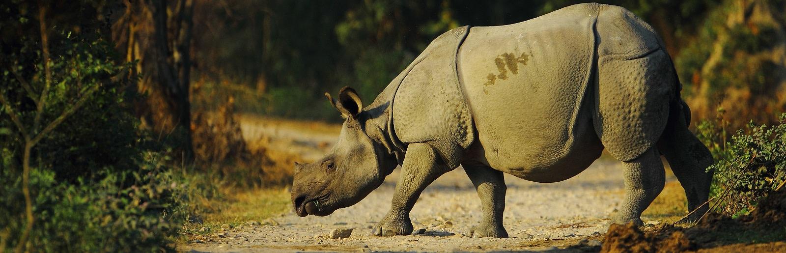 Enchanting Travels India Tours East India Indian one horned rhino in Kaziranga National Park of Assam in India