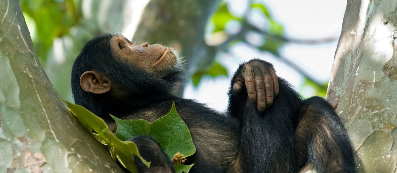 Gorilla Trekking in Ruanda Urlaub 1