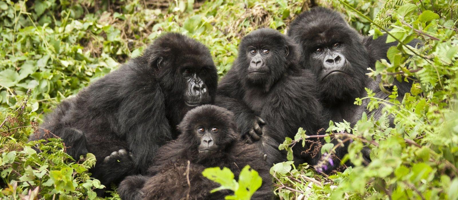 Gorilla Trekking in Ruanda Urlaub 5