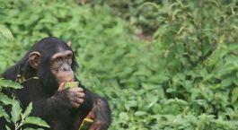 Reiseziel Budongo Forest Uganda