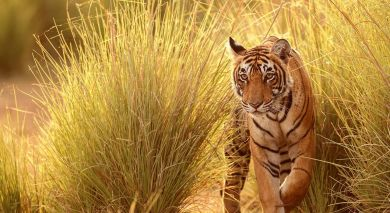 Example private tour: In The Land of Tigers