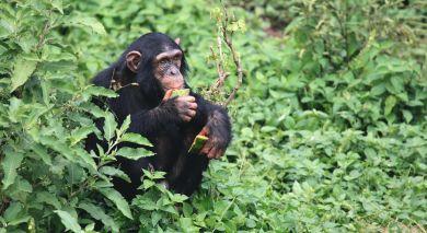 Empfohlene Individualreise, Rundreise: Uganda Safarireise – Primaten und bezaubernde Landschaften