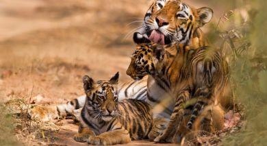 Example private tour: Taj Special: Tiger Trails of India