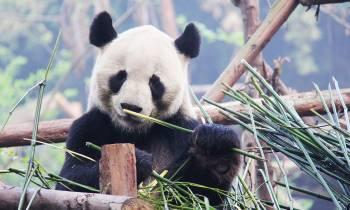 a panda sitting on a branch