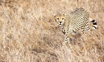 a cheetah standing on a dry grass field