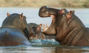 Hippos in Namibia