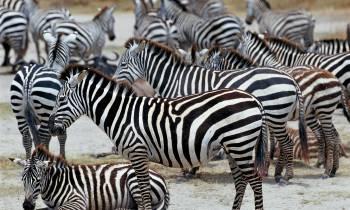 a herd of zebra standing on top of a dirt field