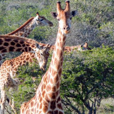 a group of giraffe standing on top of a field