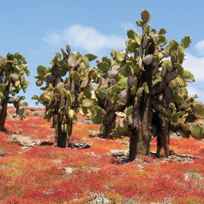 Cactus on the Galapagos Islands