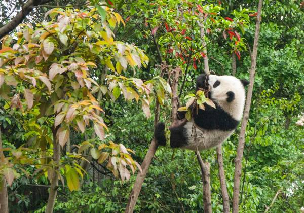 a panda sits on the branch of a tree