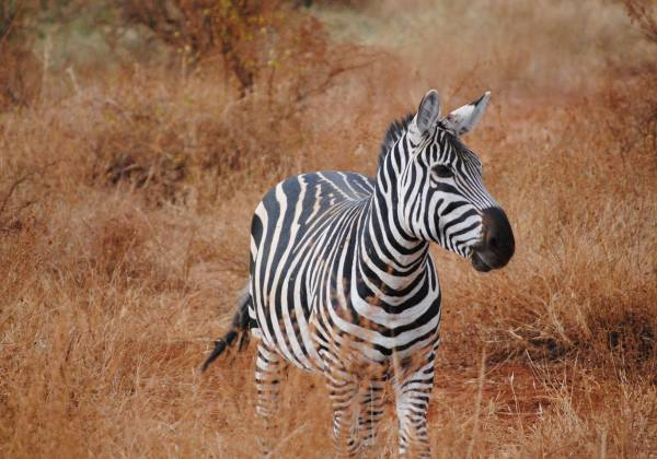 a zebra standing on top of a dry grass field