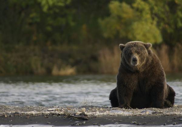 a large brown bear walking across a river