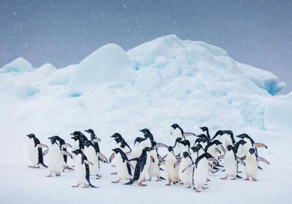 Antarctica Penguin David Merron
