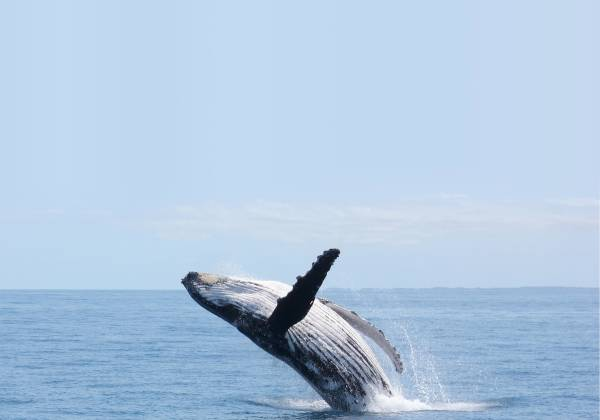 a whale jumping out of a body of water