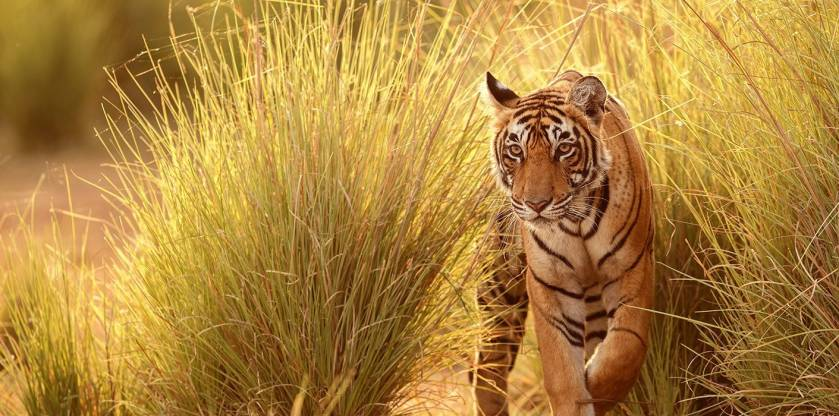 Experience tiger safari india with Enchanting Travels