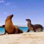 Galapagos sea lions (Zalophus californianus wollebacki) on the beach, Galapagos Islands