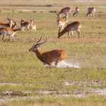 Kafue Flats lechwe (Kobus leche kafuensis) running in the water on the plains