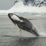 Springender Buckelwal im Südpolarmeer
