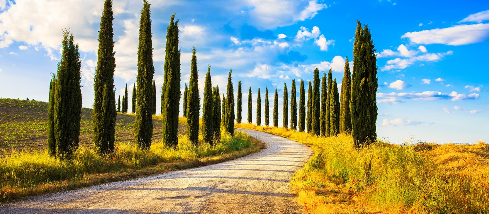 Italian cypress trees rows and a white road rural landscape. Siena, Tuscany, Italy, Europe