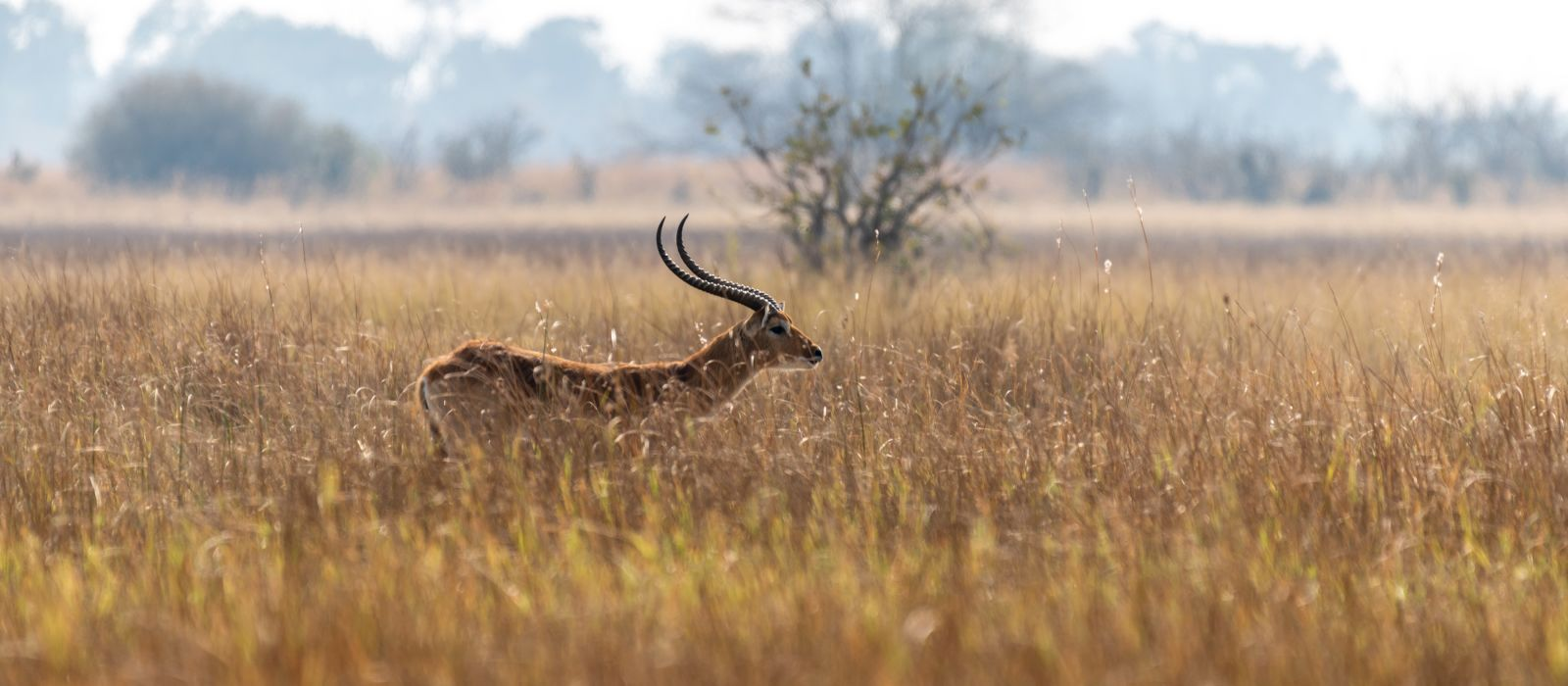 Impalas on eating between yellow grass in moremi game reserve, Botswana, Africa