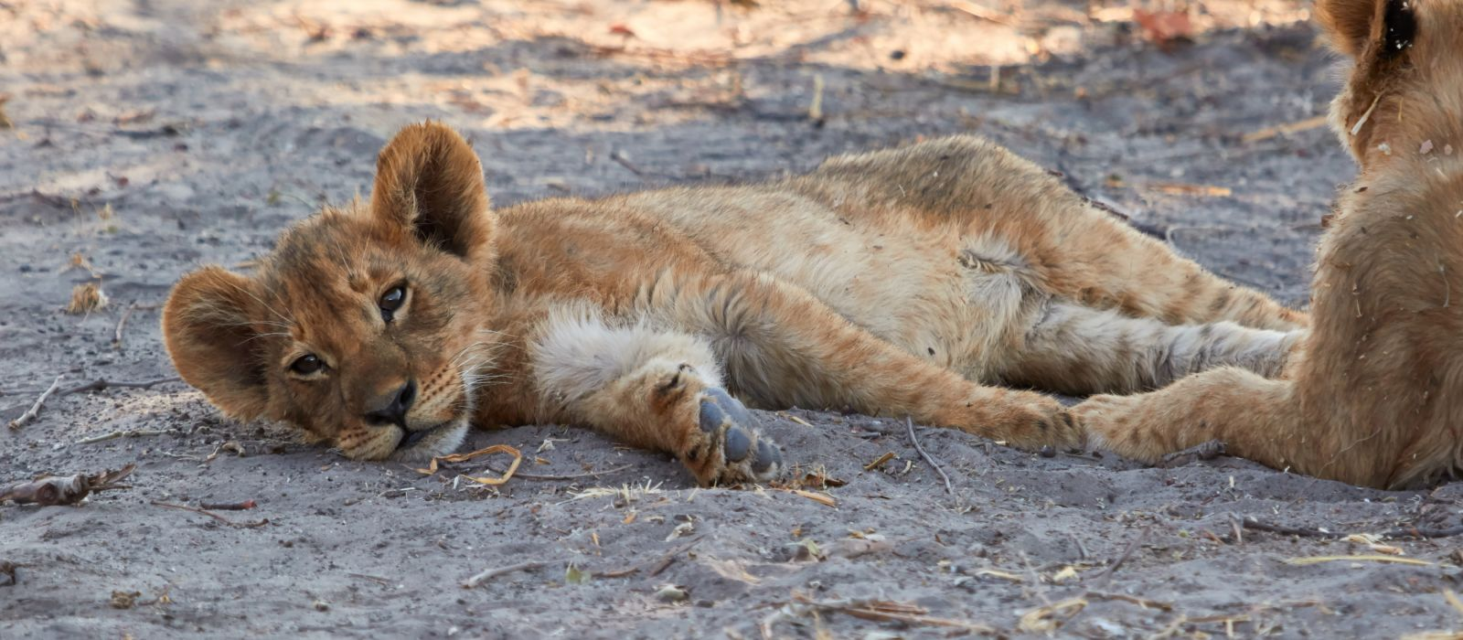 Two lion cubs, Botswana, Africa