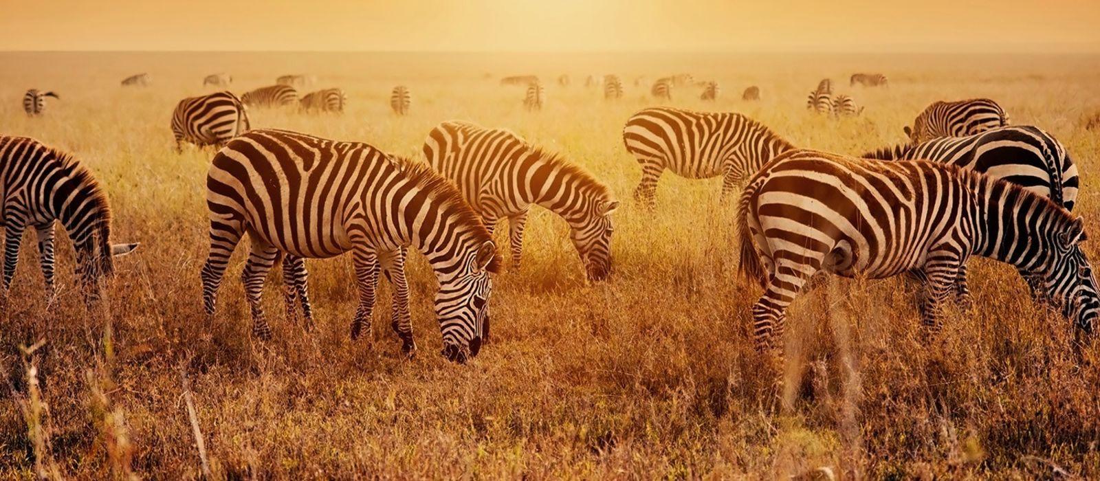 Zebras beim füttern