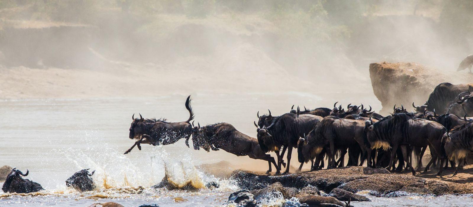 Gnus überqueren den Mara-Fluss während der jährlichen großen Wanderung zwischen Tansania und der Masai Mara in Kenia, Afrika