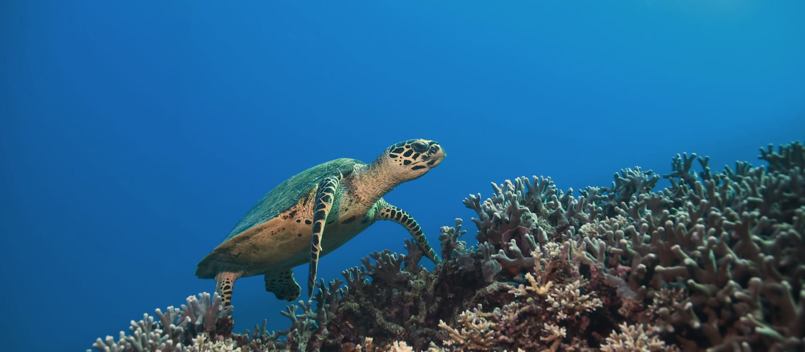 green sea turtle, great barrier reef. Australia
