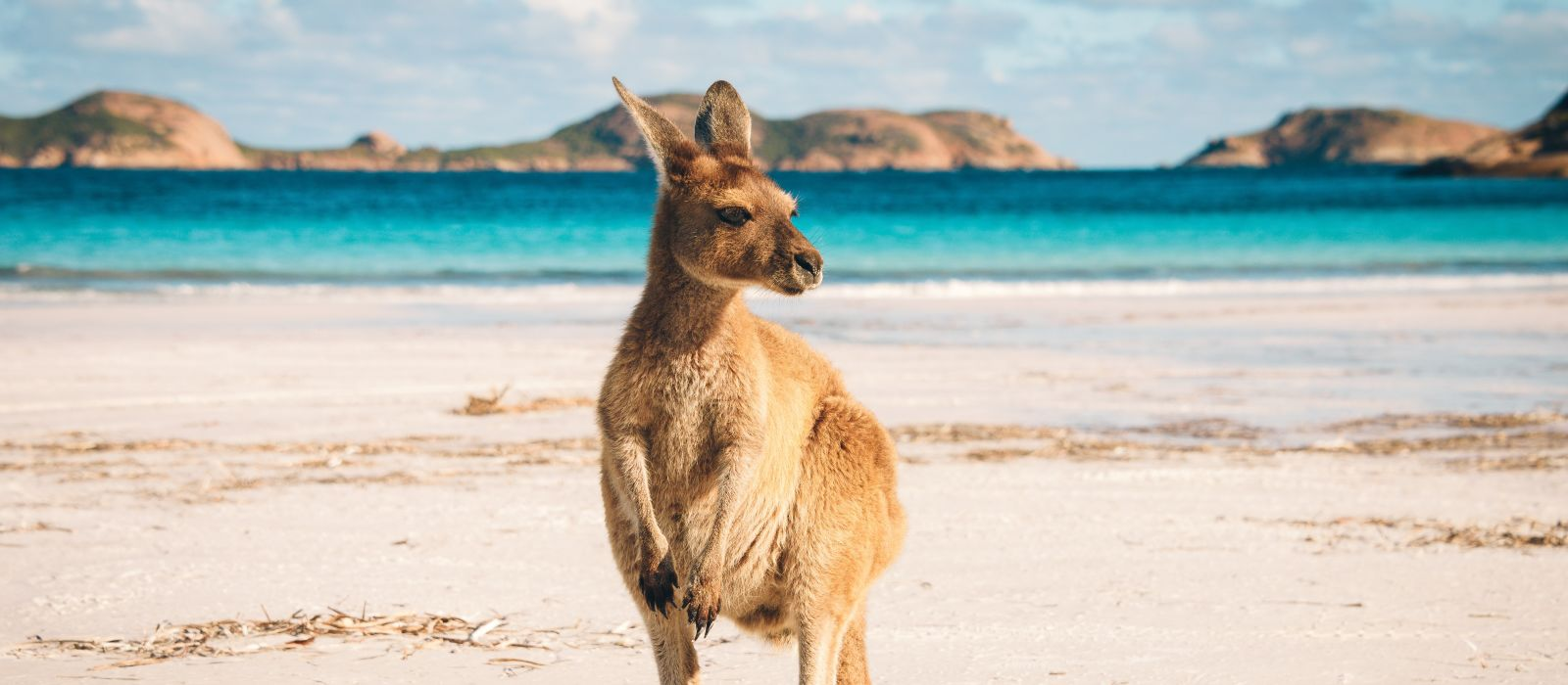 Kangaroo at Lucky Bay, Cape Le Grand National Park near Esperance, Western Australia