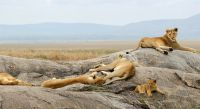 Löwen in der sengenden Sonne der Serengeti