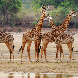 Enchanting Travels Zambia Tours Luambe Tower of Thornicroft Giraffe standing on the Luangwa Riverbed,