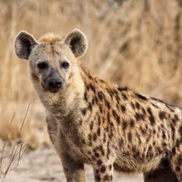Hyäne im Wildschutzgebiet bei Lilongwe
