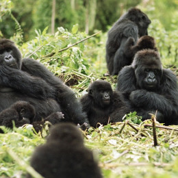 Enchanting Travels Rwanda Tours Gorillas in the wild - Rwanda travel guide