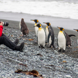 Man sits on the beach photographing king and royal penguin