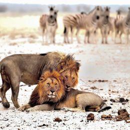 Wild Lion - Etosha, national Park, Namibia, Africa