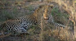 Leopard, Kruger in South Africa