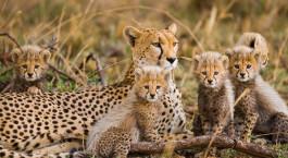 Geparden in der Serengeti, Tansania