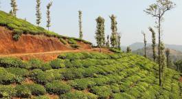 Teeplantagen in Wayanad