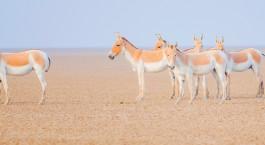 Enchanting Travels Asiatic Wild Ass from Little Rann of Kutch
