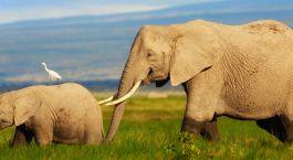 Elefanten in der Landschft von Amboseli