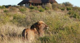 Lion at Duma Tau Camp in Central Kalahari, Botswana