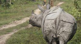Die Einhorn-Rhinozerosse im Kaziranga nationalpark in Ostindien