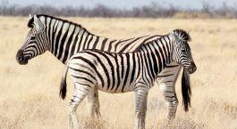 Enchanting Travels - Namibia Reisen-Serra Cafema- Zebra -Fohlen mit Mutter im afrikanischen Busch