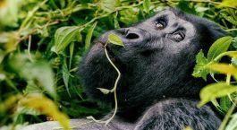 Uganda Gorillas