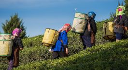 Enchanting Travels East India Tours Tea Gardens
