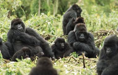 Gorilla trekking at Mountain Gorilla View, Rwanda