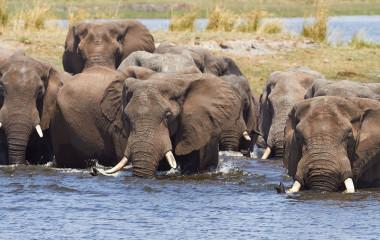 Highlight on Botswana Safaris: Elephants in the Chobe National Park