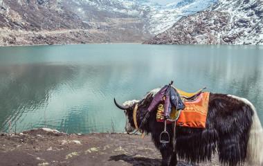 Bulle vor einem Bergsee in Gangtok