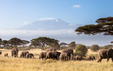 Herd of African Elephants walking in the African savannah with Mount Kilimanjaro in the background
